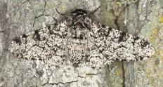 peppered-moth-on-bark